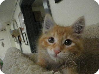 Domestic Shorthair Kitten for adoption in Milwaukee, Wisconsin - Nesbitt