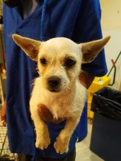 Terrier (Unknown Type, Small) Mix Dog for adoption in St. Thomas, Virgin Islands - LEAH