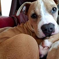Adopt A Pet :: Sage - Garden City, MI