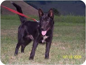 Karelian Bear Dog/Chow Chow Mix Dog for adoption in Honaker, Virginia - Raven