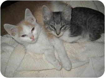 Domestic Shorthair Kitten for adoption in West Los Angeles, California - Bravo,Simon&Gellie