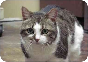 Domestic Shorthair Cat for adoption in Houston, Texas - Sabrina
