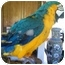 Photo 3 - Macaw for adoption in Whitehall, Montana - Rio