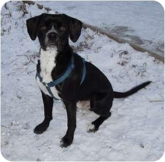 Beagle/Boxer Mix Dog for adoption in Greeley, Colorado - Sammy