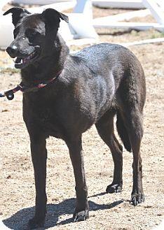 Australian Cattle Dog/Labradoodle Mix Dog for adoption in Gardnerville, Nevada - Mika