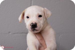Labrador Retriever/Shepherd (Unknown Type) Mix Puppy for adoption in Media, Pennsylvania - Q-Tip