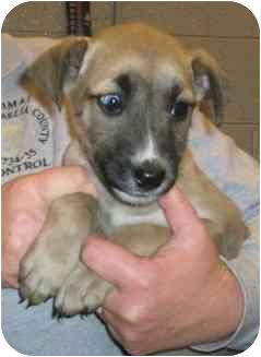 Shepherd (Unknown Type)/Labrador Retriever Mix Puppy for adoption in Blackstone, Virginia - Princess