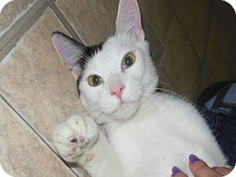 Domestic Shorthair Cat for adoption in Phoenix, Arizona - Shay