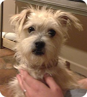 Poodle (Miniature)/Cairn Terrier Mix Dog for adoption in Manchester, Connecticut - Lenny