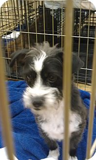 Terrier (Unknown Type, Small) Mix Dog for adoption in Las Vegas, Nevada - Tux