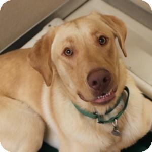 Labrador Retriever Mix Dog for adoption in Naperville, Illinois - Fred