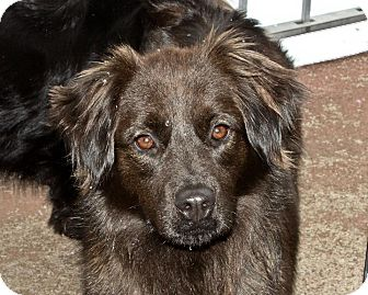 Australian Shepherd Mix Dog for adoption in West Milford, New Jersey - HANNA-pending