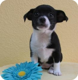 Rat Terrier Mix Puppy for adoption in Benbrook, Texas - Anastasia