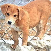 Adopt A Pet :: *Piper - PENDING - Westport, CT
