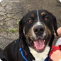 Adopt A Pet :: Hank - Canoga Park, CA