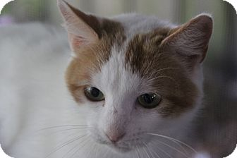 Domestic Shorthair Cat for adoption in tampa, Florida - Katniss