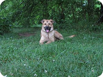 German Shepherd Dog/Belgian Malinois Mix Dog for adoption in Great Falls, Virginia - Autumn