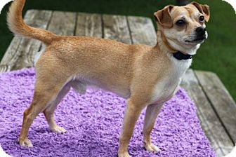 Chihuahua Mix Dog for adoption in South Haven, Michigan - Dieter