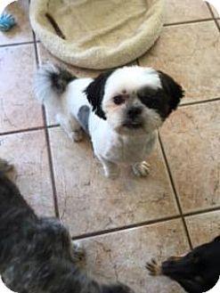 Shih Tzu Mix Dog for adoption in Mesa, Arizona - JACKSON 1 YR SHIH TZU