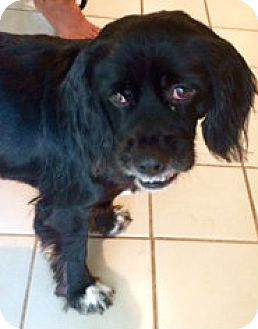 Cocker Spaniel/Spaniel (Unknown Type) Mix Dog for adoption in Sugarland, Texas - Darcy