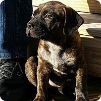 Adopt A Pet :: Primrose - bridgeport, CT