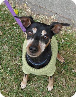 Miniature Pinscher Dog for adoption in Tacoma, Washington - Rory