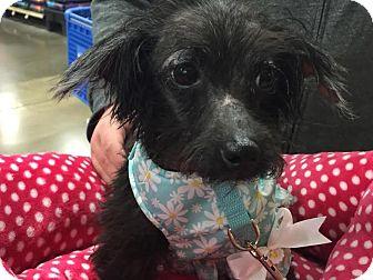 Poodle (Miniature) Mix Dog for adoption in Columbus, Ohio - Minnie