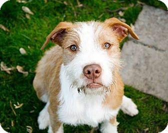Pit Bull Terrier Mix Puppy for adoption in Dayton, Ohio - Spindarella