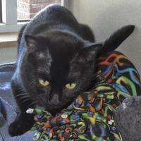 Adopt A Pet :: Smokey Kitty - Houston, TX