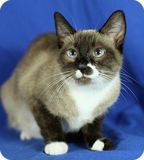 Siamese Cat for adoption in Winston-Salem, North Carolina - Vienna