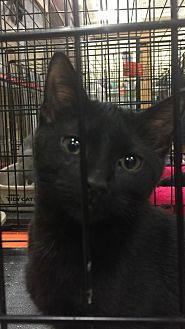 Domestic Shorthair Kitten for adoption in Tampa, Florida - Doby