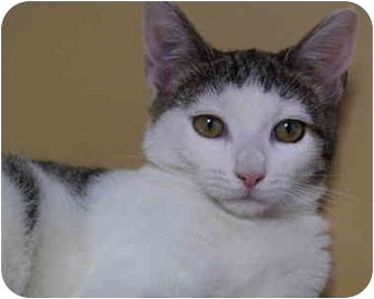 Domestic Shorthair Kitten for adoption in Bloomingdale, New Jersey - Tina