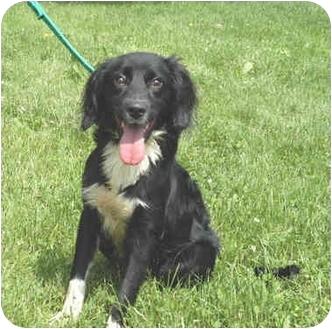 English Springer Spaniel/Cocker Spaniel Mix Puppy for adoption in Hamilton, Ohio - Toby
