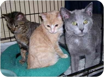 Domestic Shorthair Cat for adoption in Somerset, Pennsylvania - Greg-Gene-George