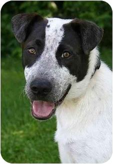 Blue Heeler Mix Puppy for adoption in Ladysmith, Wisconsin - Gabe