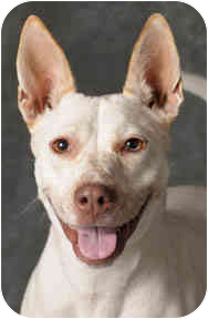 Cattle Dog Mix Dog for adoption in Chicago, Illinois - Razzie