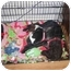 Photo 3 - Rat Terrier/Chihuahua Mix Puppy for adoption in Arlington, Texas - Aspen