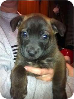 Labrador Retriever Mix Puppy for adoption in Orlando, Florida - Rhino