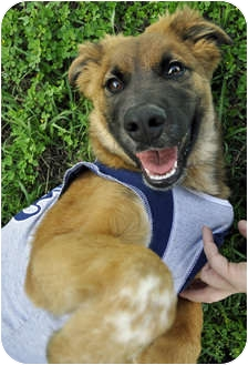 Chow Chow Mix Puppy for adoption in Corpus Christi, Texas - Brownie