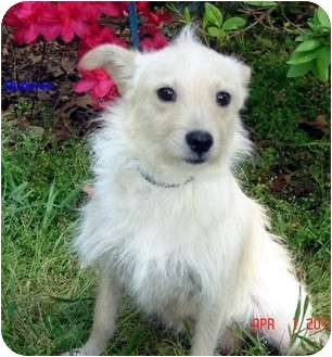 Terrier (Unknown Type, Small)/Poodle (Toy or Tea Cup) Mix Dog for adoption in Franklinton, North Carolina - Bubbles