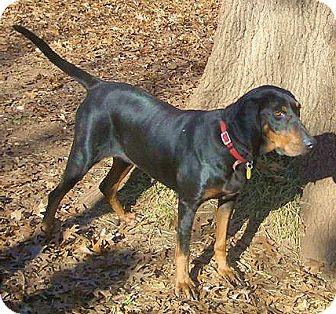 Black and Tan Coonhound Dog for adoption in Dallas, Texas - Xanadu