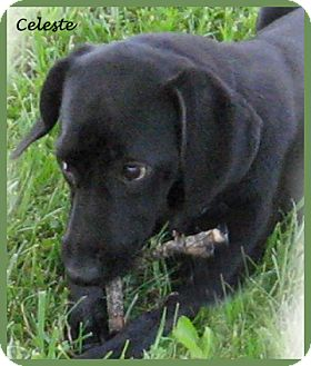 Labrador Retriever/Beagle Mix Puppy for adoption in Marlborough, Massachusetts - Celeste- Sweetest Puppy Ever!