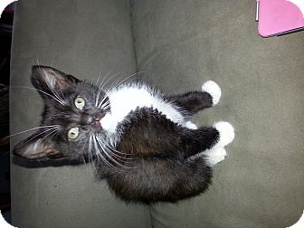 Domestic Shorthair Kitten for adoption in South Windsor, Connecticut - Kaylee