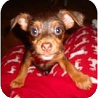 Adopt A Pet :: Caramello - Glen Burnie, MD