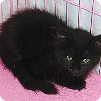 Adopt A Pet :: Chad - Chandler, AZ