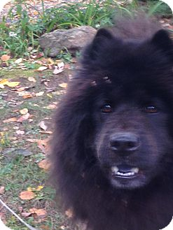 Chow Chow Mix Dog for adoption in Dix Hills, New York - BEAR