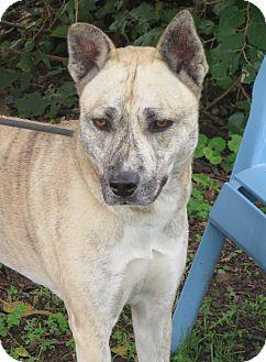Siberian Husky/Shepherd (Unknown Type) Mix Dog for adoption in Elizabeth City, North Carolina - Tilley