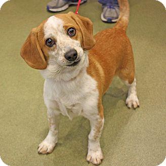 Beagle Puppy for adoption in Harrisonburg, Virginia - Odie