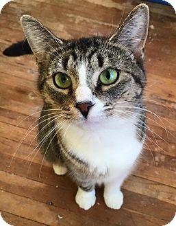 Domestic Shorthair Cat for adoption in Toledo, Ohio - Elsa