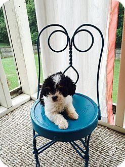 Shih Tzu Puppy for adoption in Spring Valley, New York - Stephanie